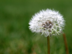 dandelion via David Hepworth CC Flickr